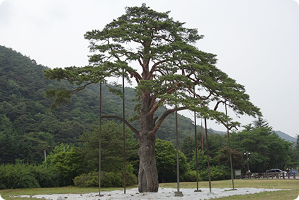 Jeongipum Pine (Natural Monument No. 203)