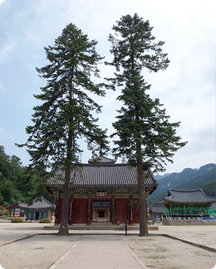 Fir tree in front of Cheongwangmun Gate